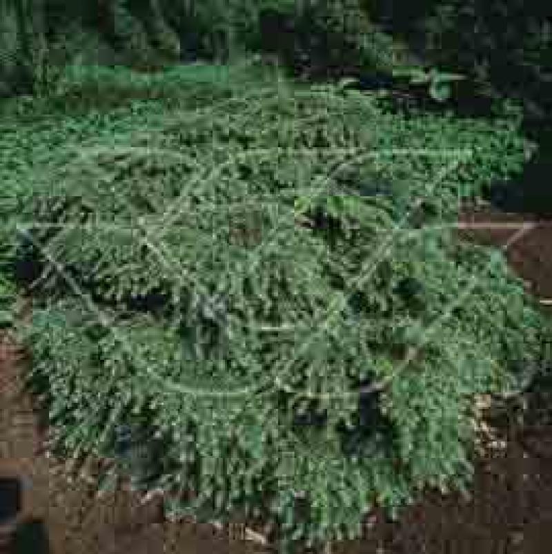 Choina Kanadyjska Jeddeloh Szkółka Roślin Pawica