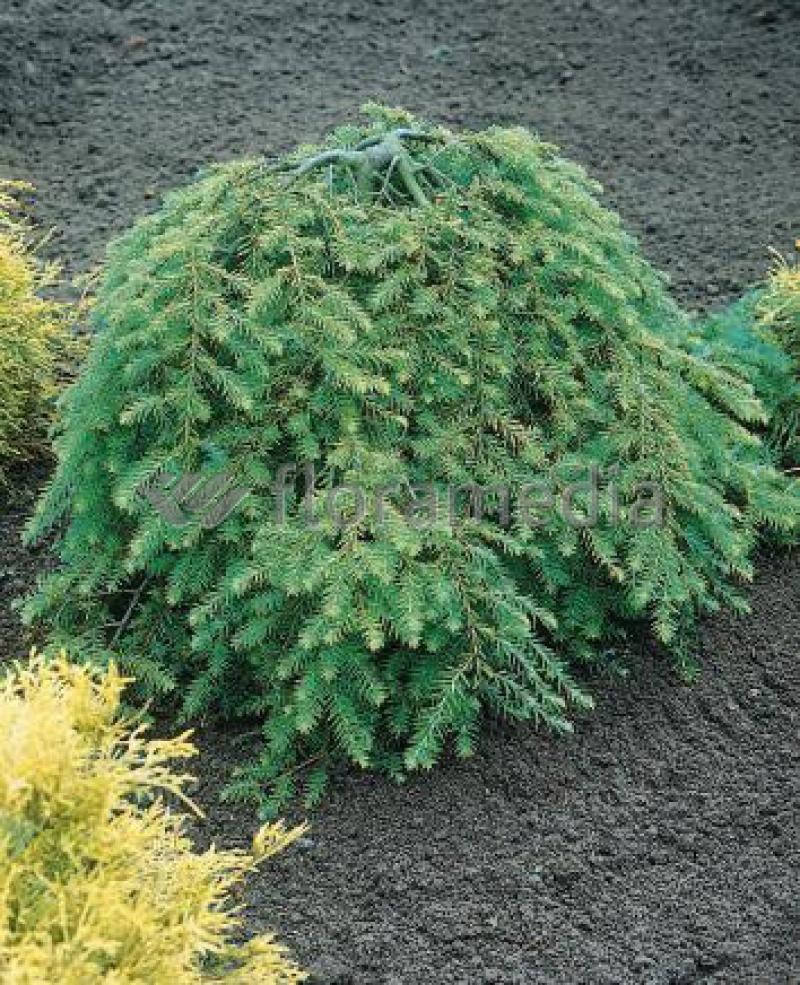 Choina Kanadyjska Pendula Szkółka Roślin Pawica